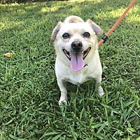 Chihuahua/Pug Mix Dog for adoption in Simpsonville, South Carolina - Buster