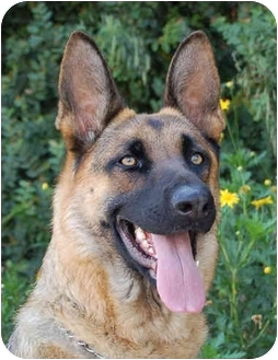 German Shepherd Dog Dog for adoption in Los Angeles, California - Fina von Felsberg