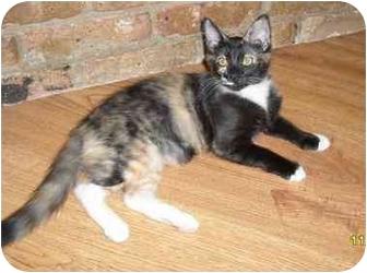 Calico Kitten for adoption in White Settlement, Texas - Ninja II