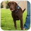 Photo 3 - Labrador Retriever Dog for adoption in Denver, Colorado - Benjamin