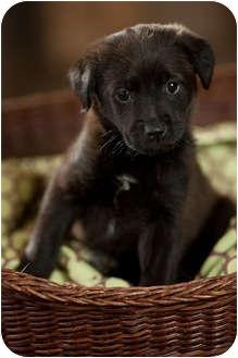Labrador Retriever Mix Puppy for adoption in Portland, Oregon - Coral