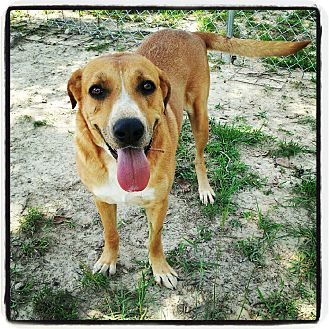 Labrador Retriever/Hound (Unknown Type) Mix Dog for adoption in Meridian, Mississippi - Peggy Sue