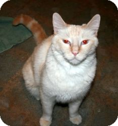 Siamese Cat for adoption in Canoga Park, California - Baby