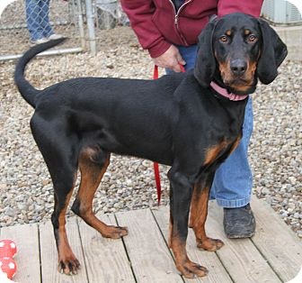 Coonhound Mix Dog for adoption in Berea, Ohio - Hawkeye