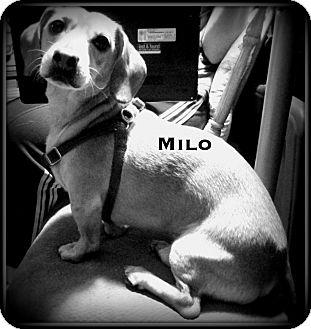 Dachshund Mix Dog for adoption in Columbia Heights, Minnesota - MIlo