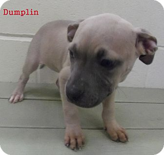 American Pit Bull Terrier Puppy for adoption in Slidell, Louisiana - Dumplin
