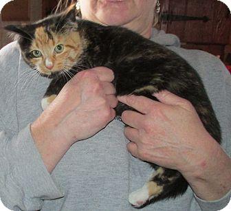 Domestic Shorthair Kitten for adoption in Acme, Pennsylvania - Leynia