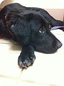Golden Retriever/Flat-Coated Retriever Mix Puppy for adoption in Nashville, Tennessee - Boss