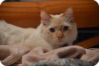 Siamese Cat for adoption in Franklin, North Carolina - Andre