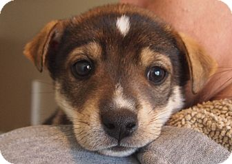 German Shepherd Dog/Wirehaired Fox Terrier Mix Puppy for adoption in Prole, Iowa - Lucky