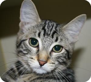 Domestic Shorthair Kitten for adoption in Brooklyn, New York - Sierra