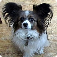 Adopt A Pet :: Lulu - San Diego County, CA