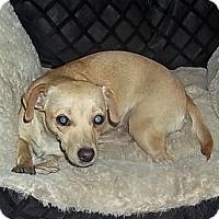 Adopt A Pet :: Angel - Plainfield, CT