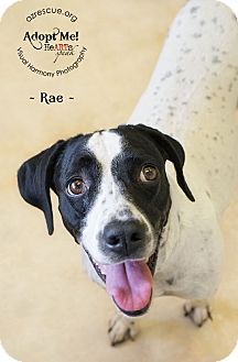 Pointer Mix Dog for adoption in Phoenix, Arizona - Rae