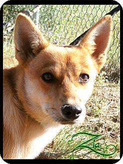 Finnish Spitz Mix Dog for adoption in Estancia, New Mexico - Zia