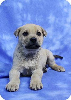 Husky/Retriever (Unknown Type) Mix Puppy for adoption in Westminster, Colorado - Akron