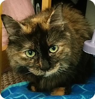 Maine Coon Cat for adoption in Chicago, Illinois - Emma