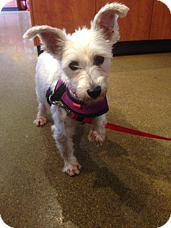 Poodle (Miniature)/Westie, West Highland White Terrier Mix Dog for adoption in Chicago, Illinois - Delta