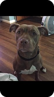 Pit Bull Terrier Mix Dog for adoption in Mt. Clemens, Michigan - Charlotte