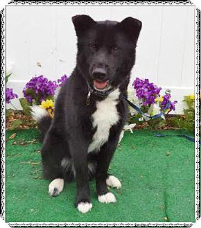 Border Collie/Shepherd (Unknown Type) Mix Dog for adoption in Marietta, Georgia - CASHMERE
