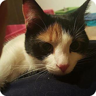 Calico Cat for adoption in Columbus, Ohio - Penelope