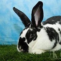 Adopt A Pet :: Ultima - Pflugerville, TX