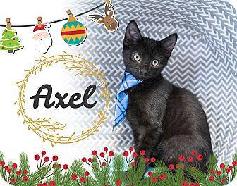 Domestic Shorthair Kitten for adoption in Montclair, California - Axel
