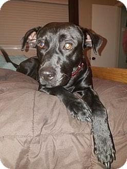 Labrador Retriever Dog for adoption in Austin, Texas - Thomas