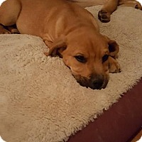 Adopt A Pet :: Loki - Franklin, VA
