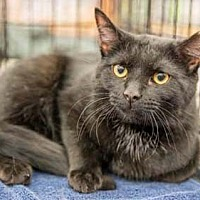 Domestic Shorthair Cat for adoption in Merrifield, Virginia - Earl