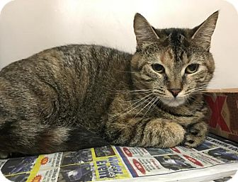 Domestic Shorthair Cat for adoption in North Haven, Connecticut - Mittens