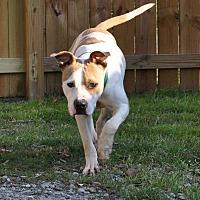 Adopt A Pet :: Hulk - Hardeeville, SC