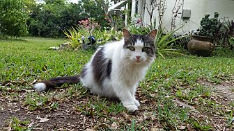 Domestic Longhair Cat for adoption in Homestead, Florida - Bells