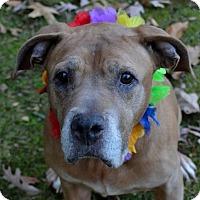 Adopt A Pet :: Lovey  33900035 - Westampton, NJ