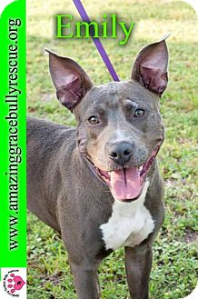 Pit Bull Terrier Dog for adoption in Pensacola, Florida - Emily