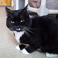 Adopt A Pet :: Buoy - lap cat! - Salisbury, MA