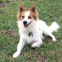 Adopt A Pet :: Oli - Garland, TX