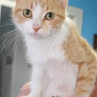 Domestic Shorthair/Domestic Shorthair Mix Cat for adoption in Robinson, Illinois - Pumpkin
