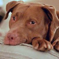 Adopt A Pet :: Suzanna - Helena, AL