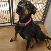 Rottweiler Mix Dog for adoption in Brownwood, Texas - Dini
