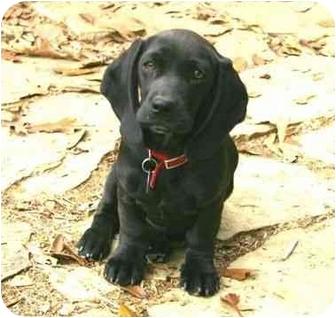 Basset Hound Mix Puppy for adoption in Muldrow, Oklahoma - Diana