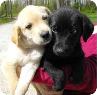Labrador Retriever/Border Collie Mix Puppy for adoption in Salem, Massachusetts - Susie