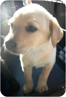 Labrador Retriever Mix Puppy for adoption in Roseville, Michigan - Penny