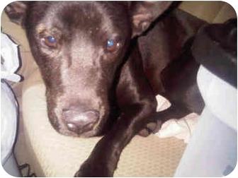 Labrador Retriever/Terrier (Unknown Type, Medium) Mix Puppy for adoption in miami beach, Florida - Lucky