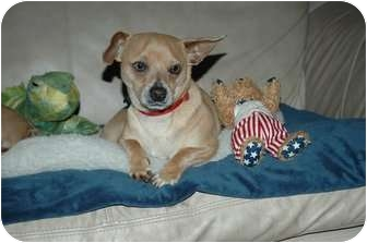 Chihuahua/Dachshund Mix Dog for adoption in Ft. Myers, Florida - Chiqui