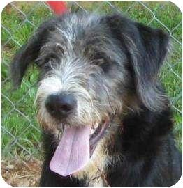 Terrier (Unknown Type, Small)/Schnauzer (Standard) Mix Puppy for adoption in Cedartown, Georgia - Scotty
