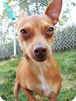 Chihuahua Mix Dog for adoption in Detroit, Michigan - Niko-Adopted!