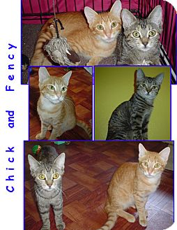Domestic Shorthair Cat for adoption in Bunnell, Florida - Chick