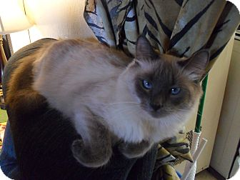 Siamese Cat for adoption in Whittier, California - Maya