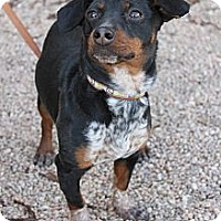 Adopt A Pet :: Addie - Fountain, CO
